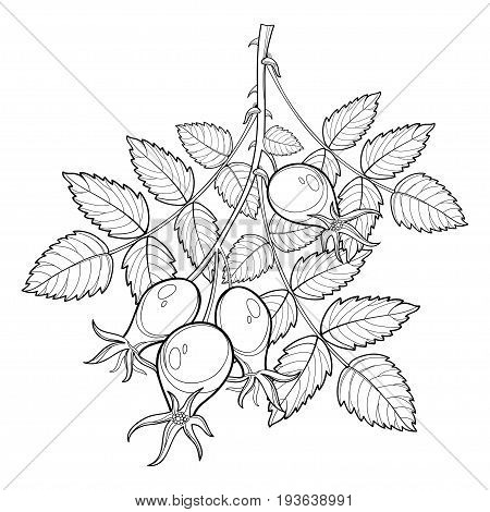 Vector branch with outline Rosehip or Dog rose, medicinal herb. Bunch with hips and leaves isolated on white background. Ornate wild rose in contour style for summer design and coloring book.