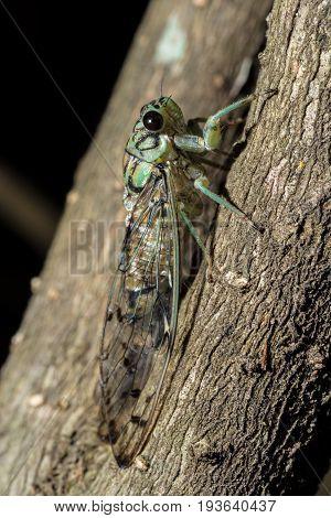 Pacarina puella cicada female resting in an East Texas shrub