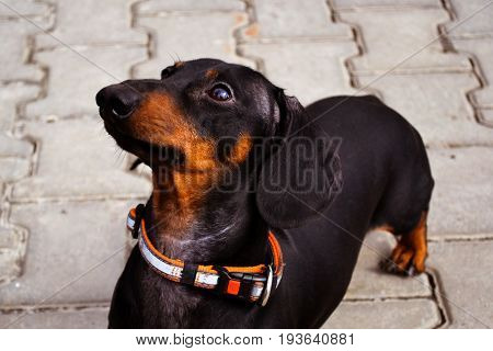 portrait of a dog (puppy) of the breed dachshund black and tan on a stone tile background