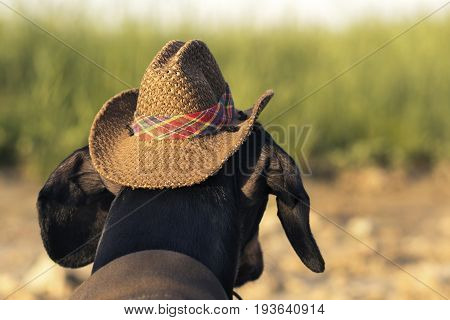 Horizontal portrait (back view) of a dog (puppy) breed dachshund black and tan in a cowboy costume sits on a stone against a background of green grass