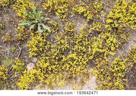 Sedum Acre Flowers