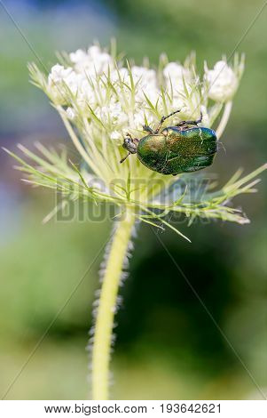 Cetonia Aurata On A Daucus Carota Flower