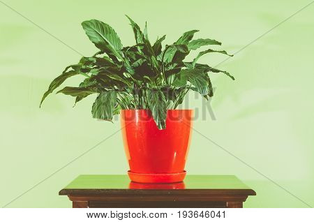 House flower in red flowerpot on the wooden surface against soft green wall. Vintage look image. Flower in flower pot.