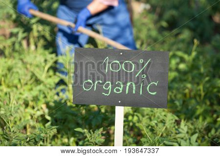 Farmer working in the organic vegetable garden