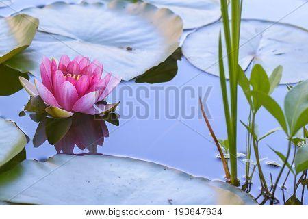 Seerose im Wasser im Teich im Garten