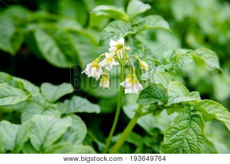 White potato flowers on a potato field
