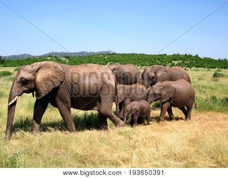 Very cohesive, friendly elephant family in Tanzania, Ruaha national park