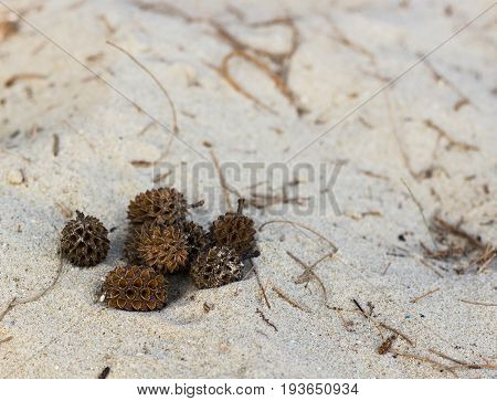 Dry pine cones from She oak (Common Ironwood) on sand beach.