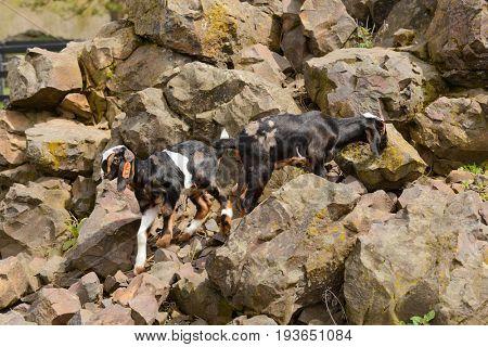 Baby goats climbing on rocks