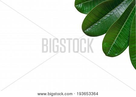 Green leave isolated over white background with clipping path.