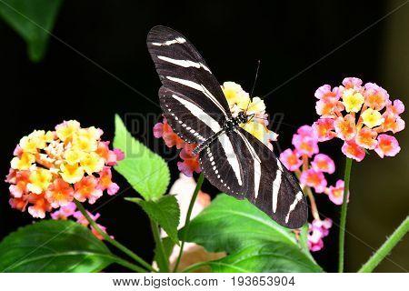 A zebra longwing butterfly sucks on a nectar sandwich in the gardens.