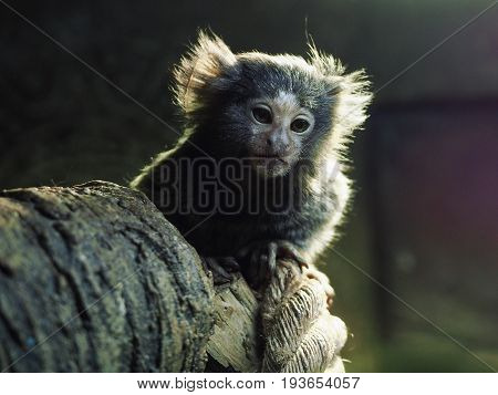 A gray monkey with brown eyes sits on a thick branch