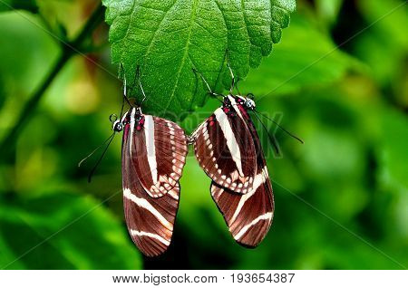 A pair of mating longwing butterflies keep the cycle going in then gardens.
