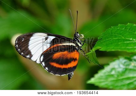 A black and white longwing butterfly with a pollen swollen proboscis lands in the gardens.