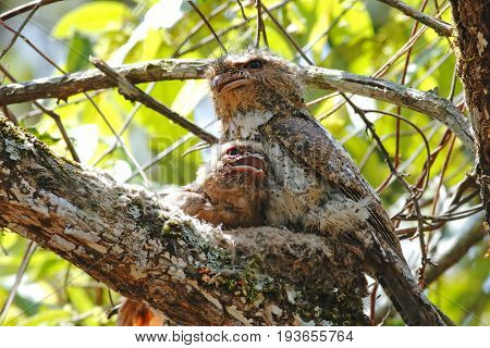 Hodgson's Frogmouth Batrachostomus Hodgsoni Baby Birds In Nest