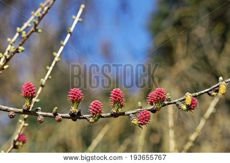 European larch (Larix decidua). Young seed cones (red) and pollen cones (yellow)