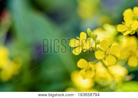 Yellow Flower Of Wild Mustard