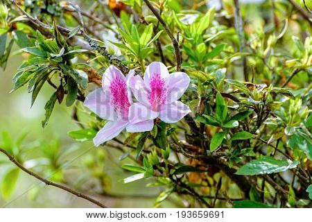Beautiful white flower with pink stripe at tree of George Taber Azalea on the mountains in northern Thailand.