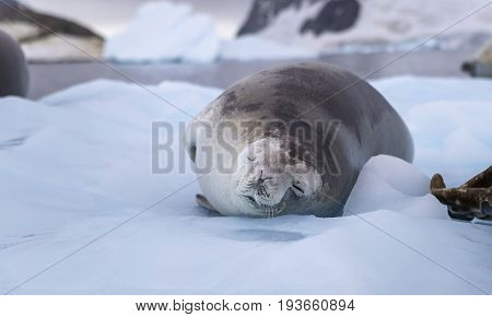 Sleeping seal laying in the snow amid the sea and icebergs. The seal lies on its side with closed eyes.