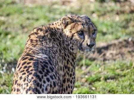 Cheetah or Cheetah (Acinonyx jubatus) on the field.
