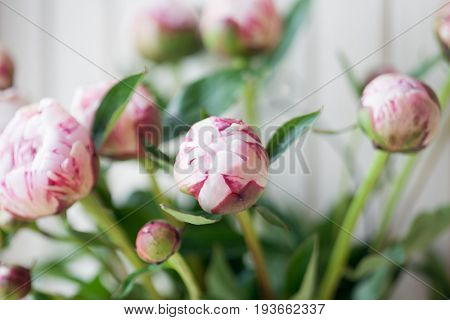 Close up of pretty pink peonies