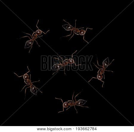 ants on a black background. macro . A photo
