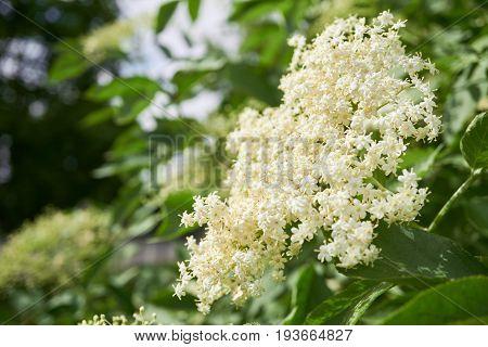 Elder Or Elderberry Blooming Tree