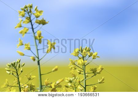 Rapeseed (Brassica napus) also known as rape oilseed rape rapa rappi rapaseed. Field of bright yellow rapeseed in summer