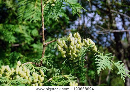 Leaves and seed cones of a northern white cedar tree (Thuja occidentalis) growing in Spring Lake Park, between Harbor Springs and Petoskey, Michigan, during August.