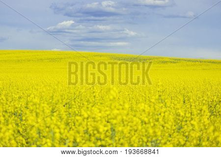 Yellow rapeseed flowers on field with blue sky and clouds
