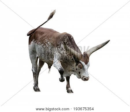 Brown and white longhorn steer isolated on white background