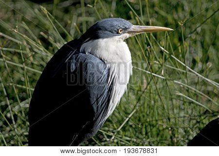 this is a close up of a pied heron