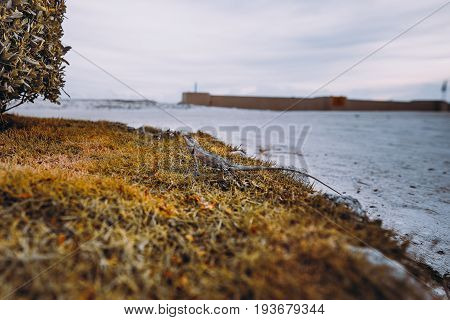 Wide angle view of gecko standing still on dry grass near fence of plants with sandy path and ocean horizon in defocused background Maldives island