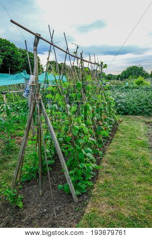Runner beans growing up canes in the allotment in early summer.