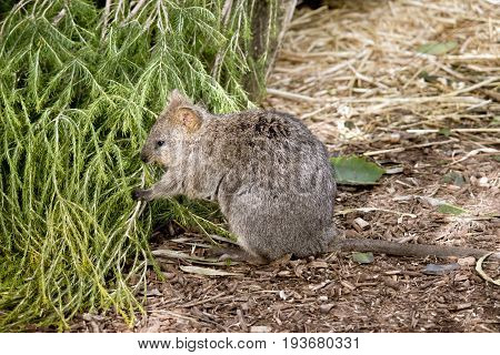 the quokka is eating  the long grass