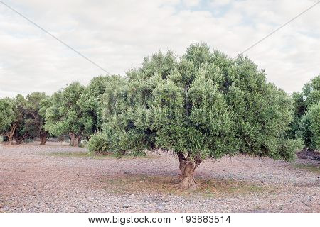 Olive tree and dried meadow, cloudy sky
