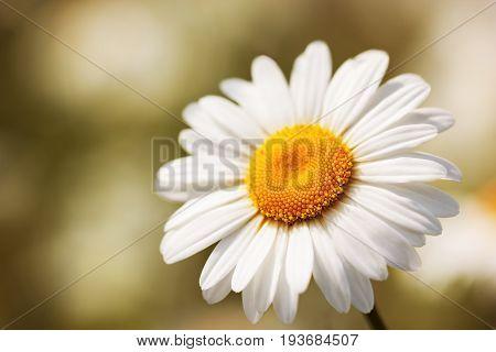 Daisy camomile flower.Chamomile field flowers border. Beautiful nature scene.  Spring Daisy. Summer flowers. Beautiful meadow. Summer background