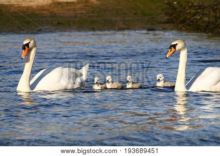 A pair of adult mute swans with four grey cygnets
