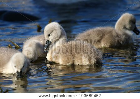 Four mute swan cygnets with fluffy grey feathers