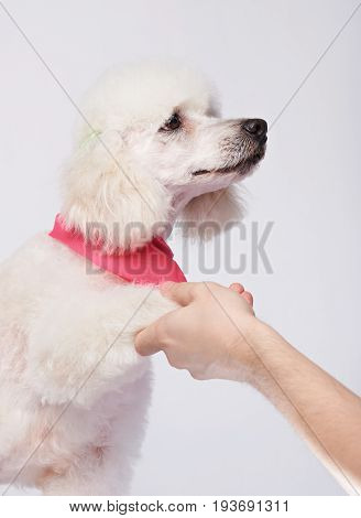 White poodle giving paw isolated on white background.Human hand holding dog paw