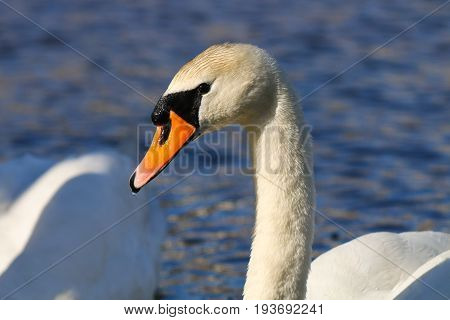 A adult Mute Swan against bright blue water