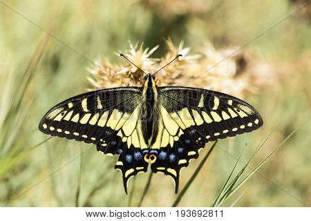Anise Swallowtail (Papilio zelicaon) nectaring. Santa Clara County, California, USA.