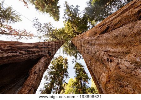 The famous Giant Forest in Sequoia National Park containing the world's largest tree, the General Sherman redwood tree.