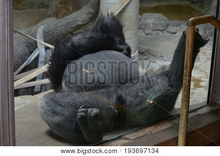 A silverback gorilla resting on his back