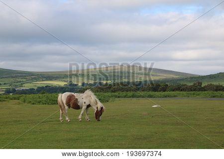 A wild Dartmoor pony grazing in the Dartmoor national Park, Devon, UK.