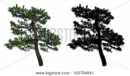 japanese bonsai tree isolated on white background with alpha mask