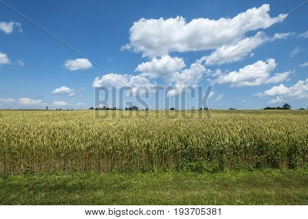 Scenic Wheat Field on a Sunny Day With Blue Sky and White Clouds