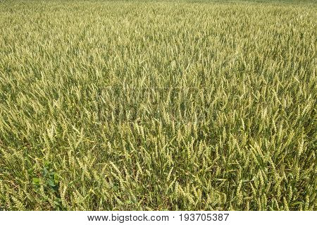 Close up of a Wheat Field in the Countryside