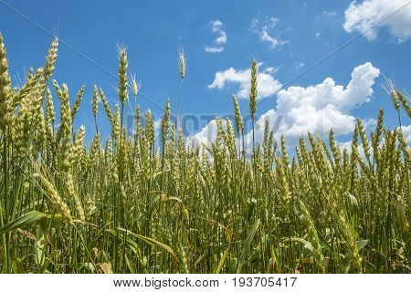 Close up of a Wheat Field on a Sunny Day