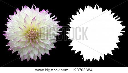 white and purple color dahlia flower isolated on balck background with alpha mask